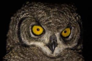 Prowling owl at Kwetu